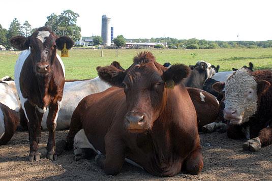 Cows in Lyme